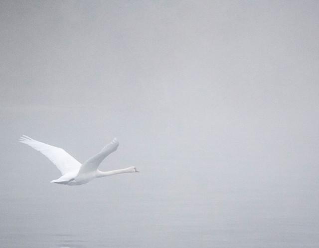 Konstanz-Seerhein-Landschaft-Nebel-Schwan_Herbst_Copyright_MTK-Dagmar-Schwelle